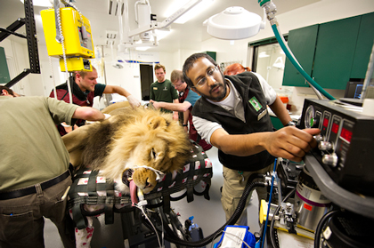 Veterinary students shadow a routine check-up of a male lion